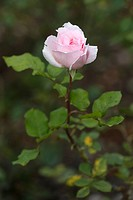 Close_up of a pink rose in a garden, Willka Tika, Sacred Valley, Cusco Region, Peru
