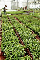 Production of sweet plant, Stevia rebaudiana for sale  Balaguer, Lleida, Catalonia, Spain