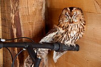 Close up view of wild tawny owl perching on handlebars of bicycle inside wooden barn, Umbria, Italy