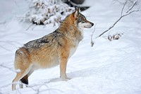 Mackenzie valley wolf, Canadian timber wolf (Canis lupus occidentalis) in the snow, keeping watch
