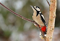 Great Spotted Woodpecker (Dendrocopos major), male