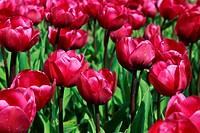 field with tulips Negrita