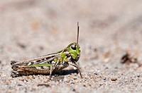 Mottled Grasshopper Myrmeleotettix maculatus adult, resting on sandy ground, Thursley Common National Nature Reserve, Surrey, England, july