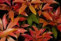 Pieris Cultivar, Pieris, Orange subject.