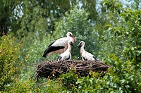 Family of White Storks (Ciconia ciconia), Alsace, France, Europe
