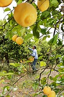 Ripe, yellow, organic grown lemons being harvested by a Sicilian man in a Demeter lemon grove, near Syracuse, Sicily, Italy, Europe