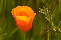 California poppy, Santa Rosa Plateau Ecological Preserve, California
