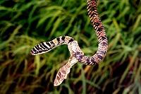 Snake Dandeli Wild Life Sanctuary, Karnataka, India.