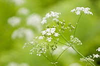 White little umbrella flowers in a green background