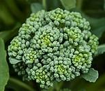 fresh organic vegetable broccoli homegrown in garden