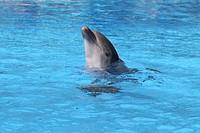 Bottlenose Dolphin Tursiops truncatus in an oceanarium