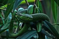 western green mamba, dendroaspis viridis, green mamba, mamba, snake, animal