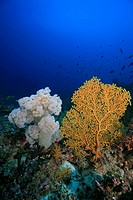 Gelbe Gorgonie neben einer Weichkoralle, Euplexaura crassa, Ari Atoll, Malediven, Indischer Ozean, Gorgonian, Ari Atoll, Maldives, Indian Ocean