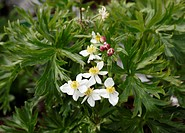 Austria, Styria, Narcissus flowered anemone, close up