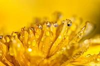 Yellow Dahlia (Dahlia sp.), detail, Hesse, Germany, Europe