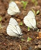 Black_veined white butterflies