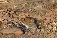 Bank vole Myodes glareolus / Clethrionomys glareolus leaving burrow, Germany