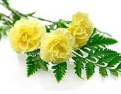 Yellow carnation flowers