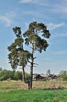 Solitary pine tree on outskirts of russian village in spring time