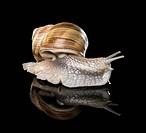 Grapevine snail on black