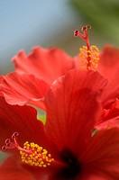 Hibiscus rosa_sinensis, Hibiscus, Red subject.