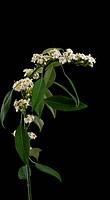 Euphorbia fulgens ´White King´, Euphorbia, Spurge, White subject, Black background.