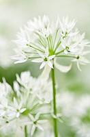 Allium ursinum, Wild garlic, Ramsons, White subject.