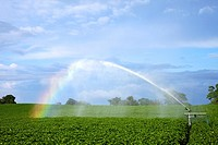 Rainbow forming in spray from a sprinkler on potato crop, Oswestry, Shropshire, England