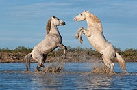 Camargue horses stallions fighting in the water, Bouches du Rhône, France