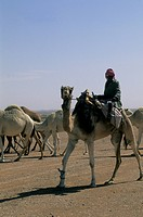 Saudi Arabia, Near Riyadh, Bedouin Herding Camels