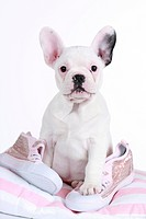 French Bulldog. Sitting puppy with sneakers. Studio picture against a white background