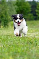 Australian Shepherd. Tricoloured puppy running on grass