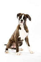 Boxer. Juvenile dog sitting. Studio picture against a white background