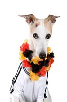 Whippet dressed as fan of the German National Football Team