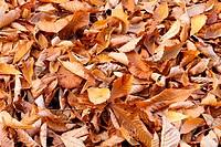 Fallen Beech Leaves