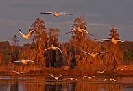 American White Pelican Pelecanus erythrorhynchos in flight
