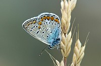 Common Blue - Polyommatus icarus, Greece
