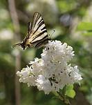 Syringa vulgaris, Lilac