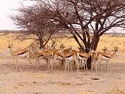 Black headed impala