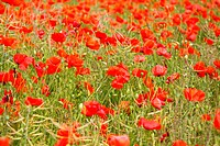 Fields of poppies in spring in France