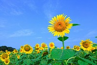 Sunflower Field And Blue Sky In Background
