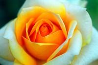 yellow white rose flower closeup