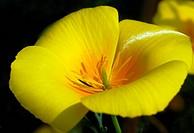 yellow california poppy flower