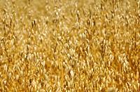 Field with ripe oats Avena sativa