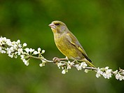European Greenfinch Carduelis chloris adult male, perched on twig with blossom, Warwickshire, England, april