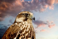 Beautiful Falcon contemplating sunset.