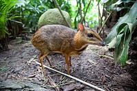An Asian Mouse Deer Tragulidae At The Singapore Zoo, Singapore