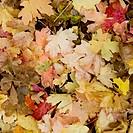 Fallen Leaves In Autumn Colours, Utah United States Of America