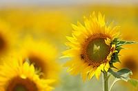 Sunflower Helianthus Annuus, Teba Andalusia Spain