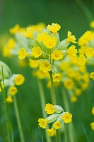 Cowslip Primula veris